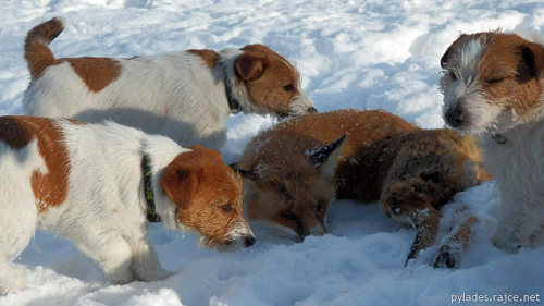 Jack Russells after hunting a fox